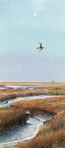 Godwit over Blakeney Marsh