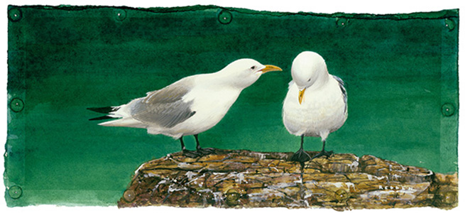 Kittiwakes on Cliff